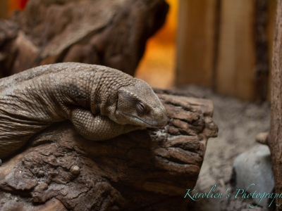 Savannah monitor - De Zonnegloed - Animal park - Animal refuge centre