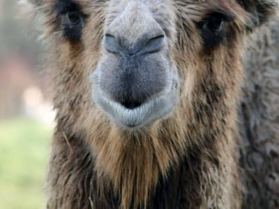 Bactrian camel - De Zonnegloed - Animal park - Animal refuge centre