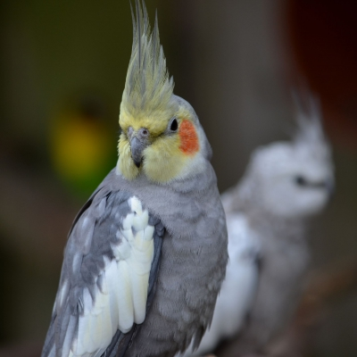 Cockatiel - De Zonnegloed - Animal park - Animal refuge centre