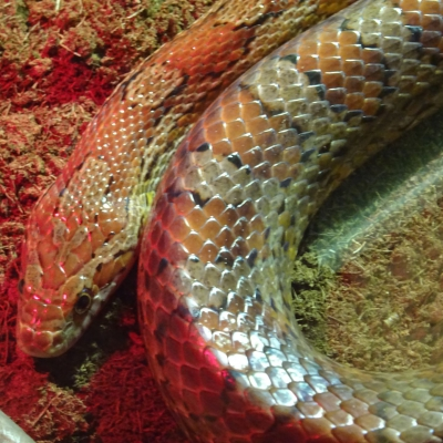 Corn snake - De Zonnegloed - Animal park - Animal refuge centre