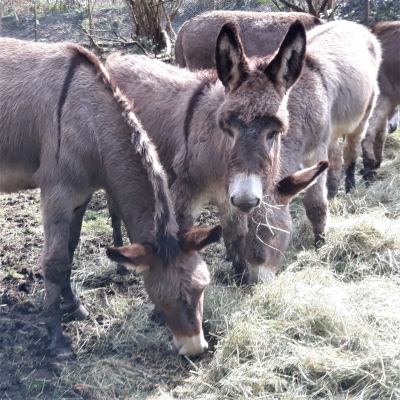 Amiatina donkey - De Zonnegloed - Animal park - Animal refuge centre