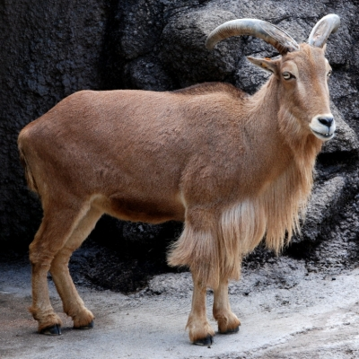 Barbary Sheep - De Zonnegloed - Animal park - Animal refuge centre