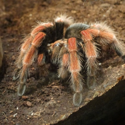Mexican fireleg tarantula - De Zonnegloed - Animal park - Animal refuge centre