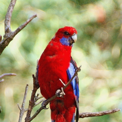 Crimson rosella - De Zonnegloed - Animal park - Animal refuge centre