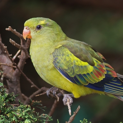 Regent parrot - De Zonnegloed - Animal park - Animal refuge centre