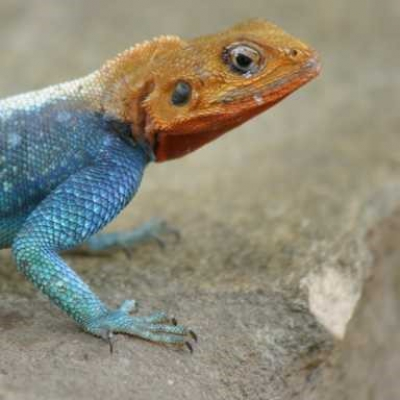 Common agama - De Zonnegloed - Animal park - Animal refuge centre