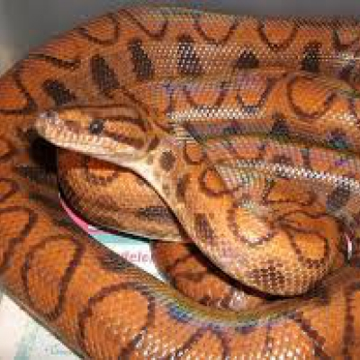 Colombian Rainbow boa - De Zonnegloed - Animal park - Animal refuge centre