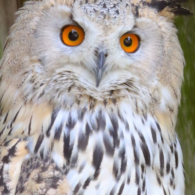 Siberian eagle-owl - De Zonnegloed - Animal park - Animal refuge centre