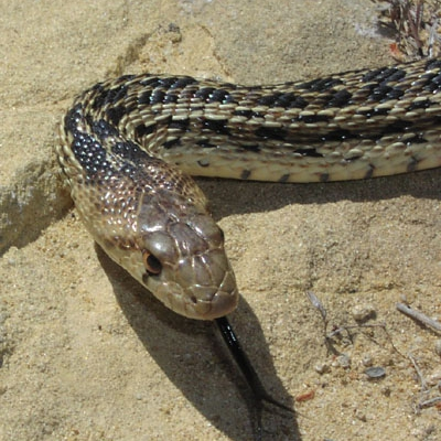 Pacific gopher snake - De Zonnegloed - Animal park - Animal refuge centre