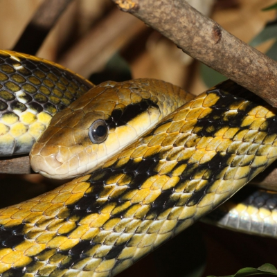 Beauty rat snake - De Zonnegloed - Animal park - Animal refuge centre