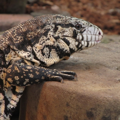 Argentine black and white tegu - De Zonnegloed - Animal park - Animal refuge centre