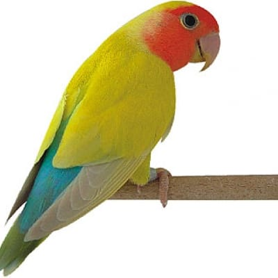 lovebird - De Zonnegloed - Animal park - Animal refuge centre