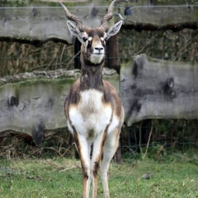 Blackbuck - De Zonnegloed - Animal park - Animal refuge centre