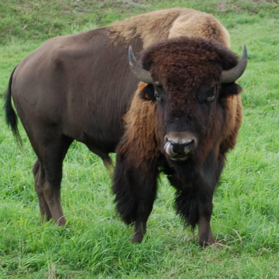 American bison (buffalo) - De Zonnegloed - Animal park - Animal refuge centre