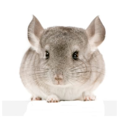 Chinchilla - De Zonnegloed - Animal park - Animal refuge centre