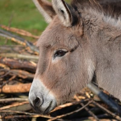 Donkey - De Zonnegloed - Animal park - Animal refuge centre