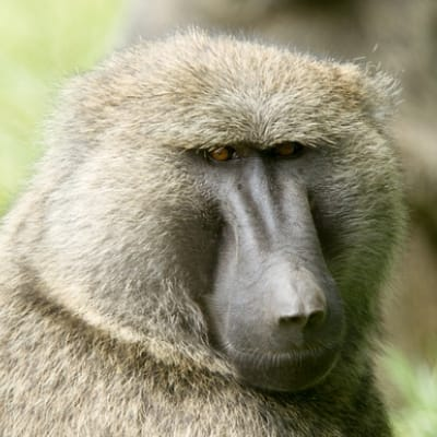 Olive baboon - De Zonnegloed - Animal park - Animal refuge centre