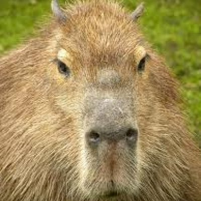 Capybara - De Zonnegloed - Animal park - Animal refuge centre