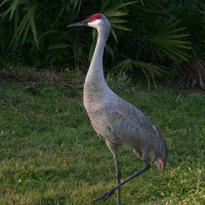 Sandhill crane - De Zonnegloed - Animal park - Animal refuge centre