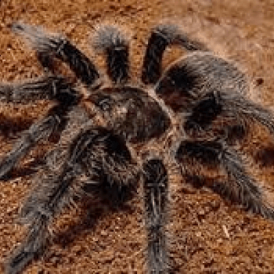 Curlyhair tarantula - De Zonnegloed - Animal park - Animal refuge centre
