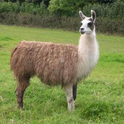 Llama - De Zonnegloed - Animal park - Animal refuge centre