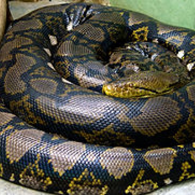 Reticulated python - De Zonnegloed - Animal park - Animal refuge centre