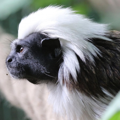 Cotton-top tamarin - De Zonnegloed - Animal park - Animal refuge centre