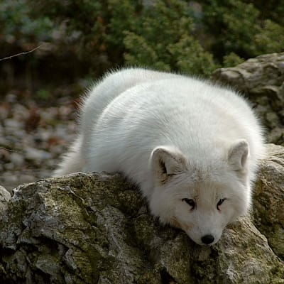 Arctic fox - De Zonnegloed - Animal park - Animal refuge centre