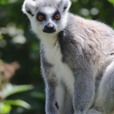 Ring-tailed lemur - De Zonnegloed - Animal park - Animal refuge centre