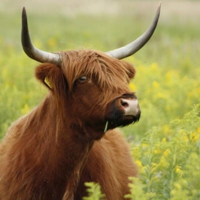 Scottish highland cattle - De Zonnegloed - Animal park - Animal refuge centre