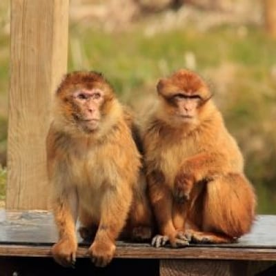 Barbary Ape - De Zonnegloed - Animal park - Animal refuge centre