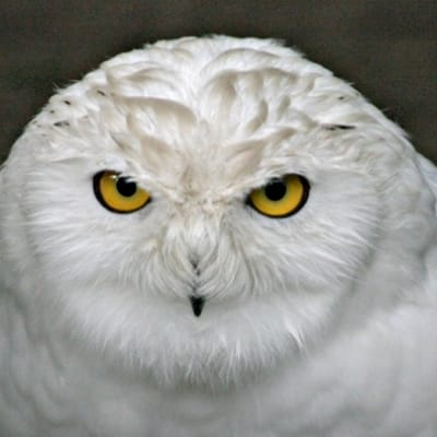 Snowy owl - De Zonnegloed - Animal park - Animal refuge centre