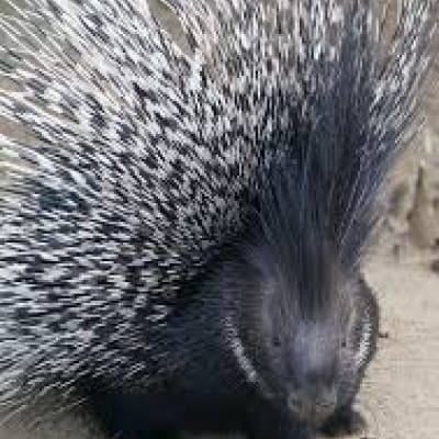 Crested porcupine - De Zonnegloed - Animal park - Animal refuge centre