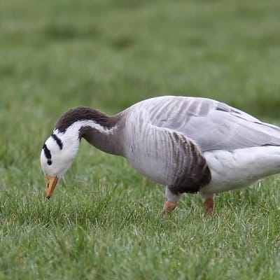 Bar-headed goose - De Zonnegloed - Animal park - Animal refuge centre
