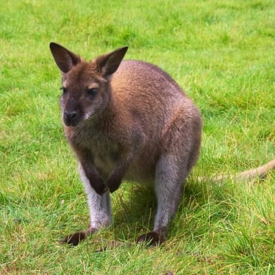 Bennett's wallaby - De Zonnegloed - Animal park - Animal refuge centre