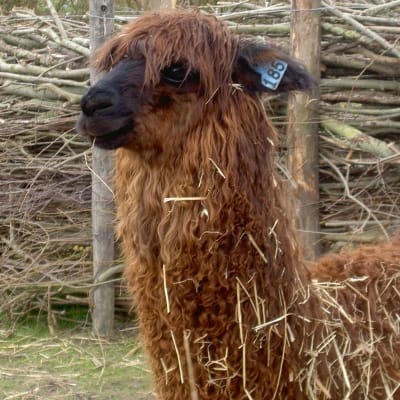 Alpaca - De Zonnegloed - Animal park - Animal refuge centre