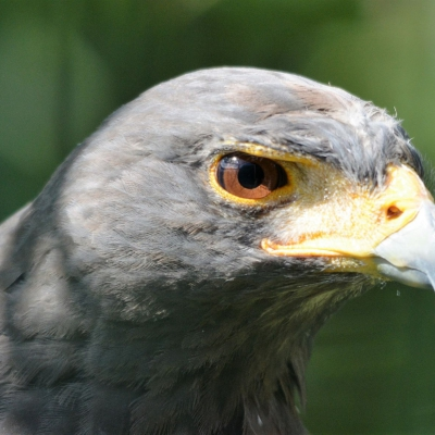 Harris's hawk - De Zonnegloed - Animal park - Animal refuge centre
