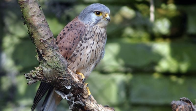 Kestrel - De Zonnegloed - Animal park - Animal refuge centre